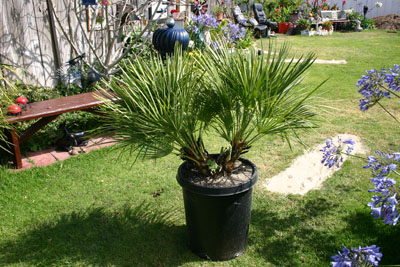 Chamaerops humilis - European Fan Palm